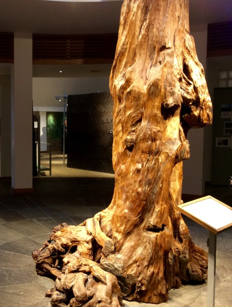 A Pine tree that lived in Mayo 4,300 years ago